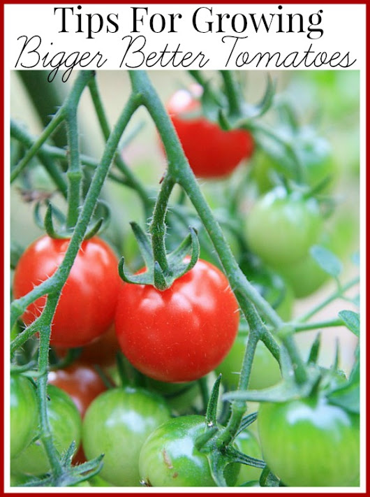 My Tips For Growing Bigger Better Tomatoes - A Cultivated Nest