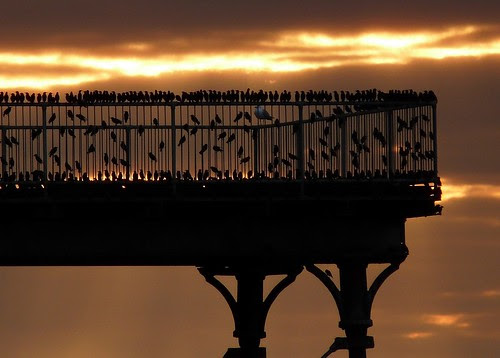 12074 - Starlings over Aberystwyth Pier