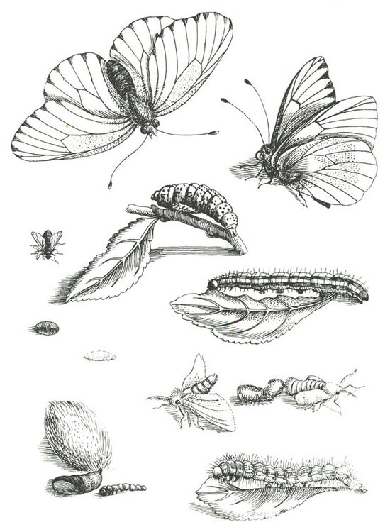 Butterfly Life Cycle Drawing at GetDrawings | Free download
