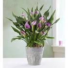 1-800 Flowers Elegant Calla Lily - Plants
