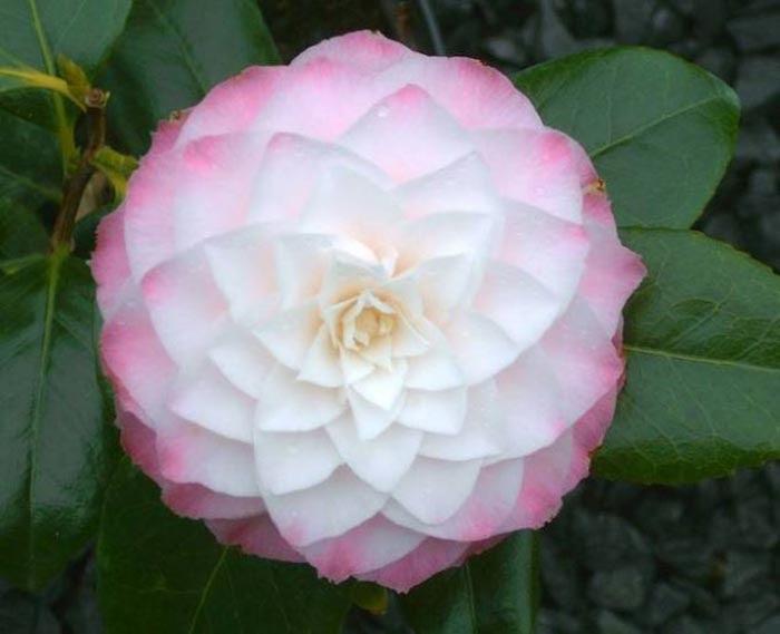 http://flores.florpedia.com/images/fotos-flores-camelias.jpg