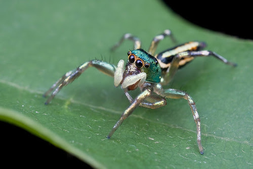 jumping spider IMG_0702 copy