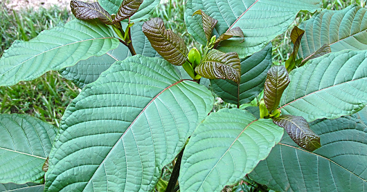 Don't let the DEA ban kratom