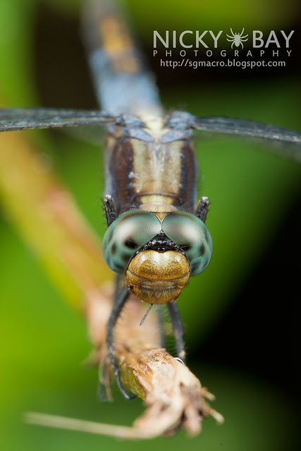 Dragonfly (Odonata) - DSC_8215