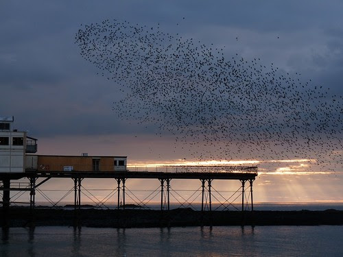 12070 - Starlings over Aberystwyth Pier