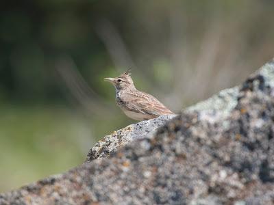 Crested lark