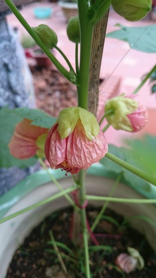Hoa cảnh trồng tại nhà