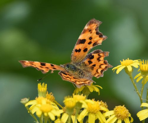 Butterflies at Conningbrook Lakes | Wildlife Diary