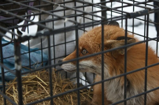 Just Because Winter Is Over Doesn't Mean Animals Aren't Still Suffering on Fur Farms