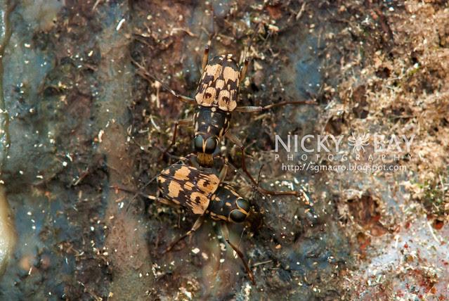 Fungus Weevil (Anthribidae) - DSC_5990
