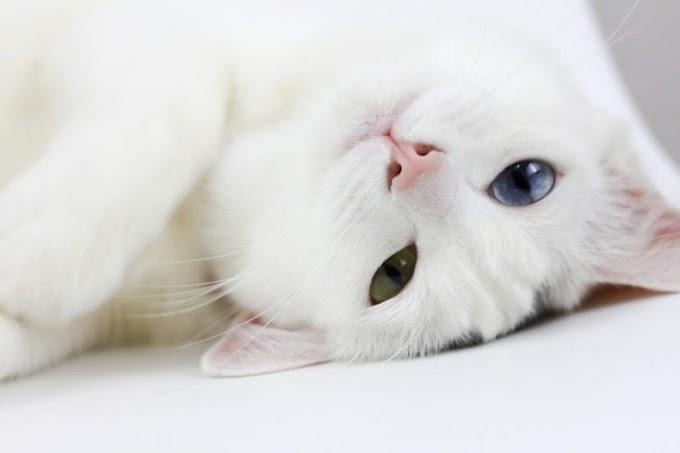Por qué mi gato no ronronea