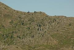 2008-08-22 post candidates Mt St Helens Dead forrest