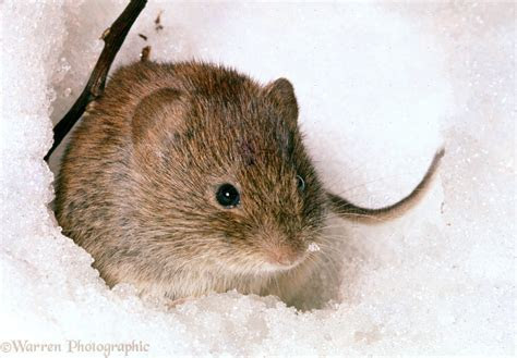 Bank Vole photo   WP07200
