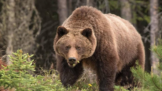 A.G.'s grizzly audit an indictment of B.C.'s current management strategy