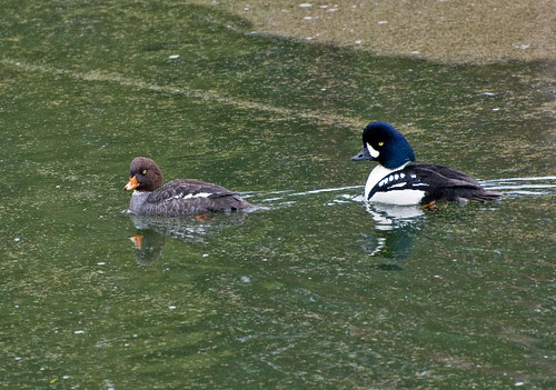 Barrow's Goldeneye Pair