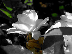 rose,091105