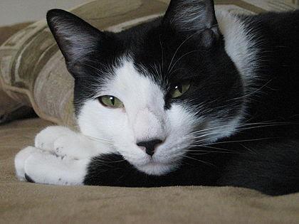 Gambar Kucing Warna Hitam godean.web.id