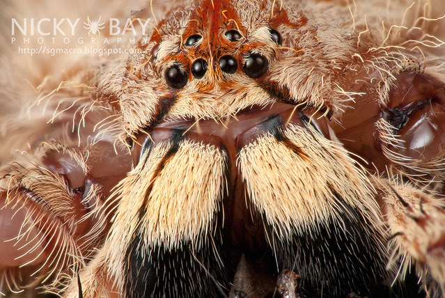 Huntsman Spider (Sparassidae) - DSC_0612