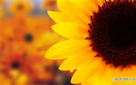 beautiful sunflower hd wallpaper  macbook pro