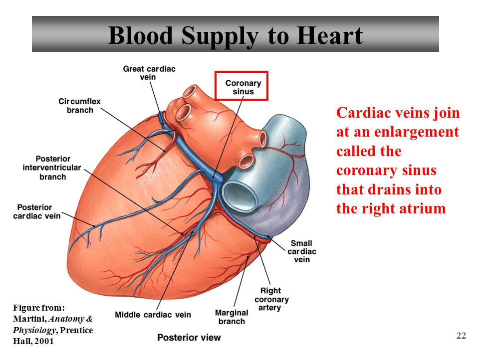 Blood+Supply+to+Heart+Cardiac+veins+join+at+an+enlargement+called+the+coronary+sinus+that+drains+into+the+right+atrium