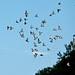 rock_pigeons_in_white_river_jct_vt