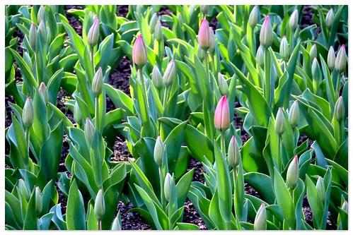 tulipanes cerrados