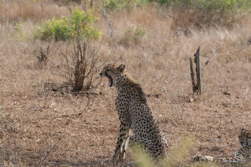 cheetahs are easily bored