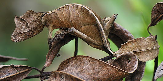 Absurd Creature of the Week: Satanic Leaf-Tailed Gecko Wears the World's Most Unbelievable Camo | Science | WIRED