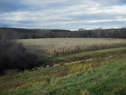 november cornfield