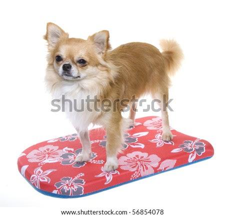 long haired chihuahua puppies florida. long haired chihuahua puppies. Long Hair Chihuahua Puppy; Long Hair Chihuahua Puppy. netdog. Aug 11, 03:22 PM