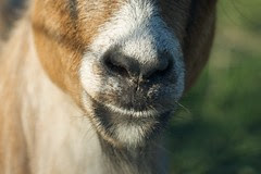 Casey the Goat