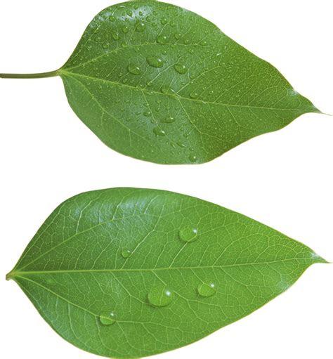 green leaf png leaves pinterest leaves