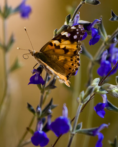 orange_butterfly