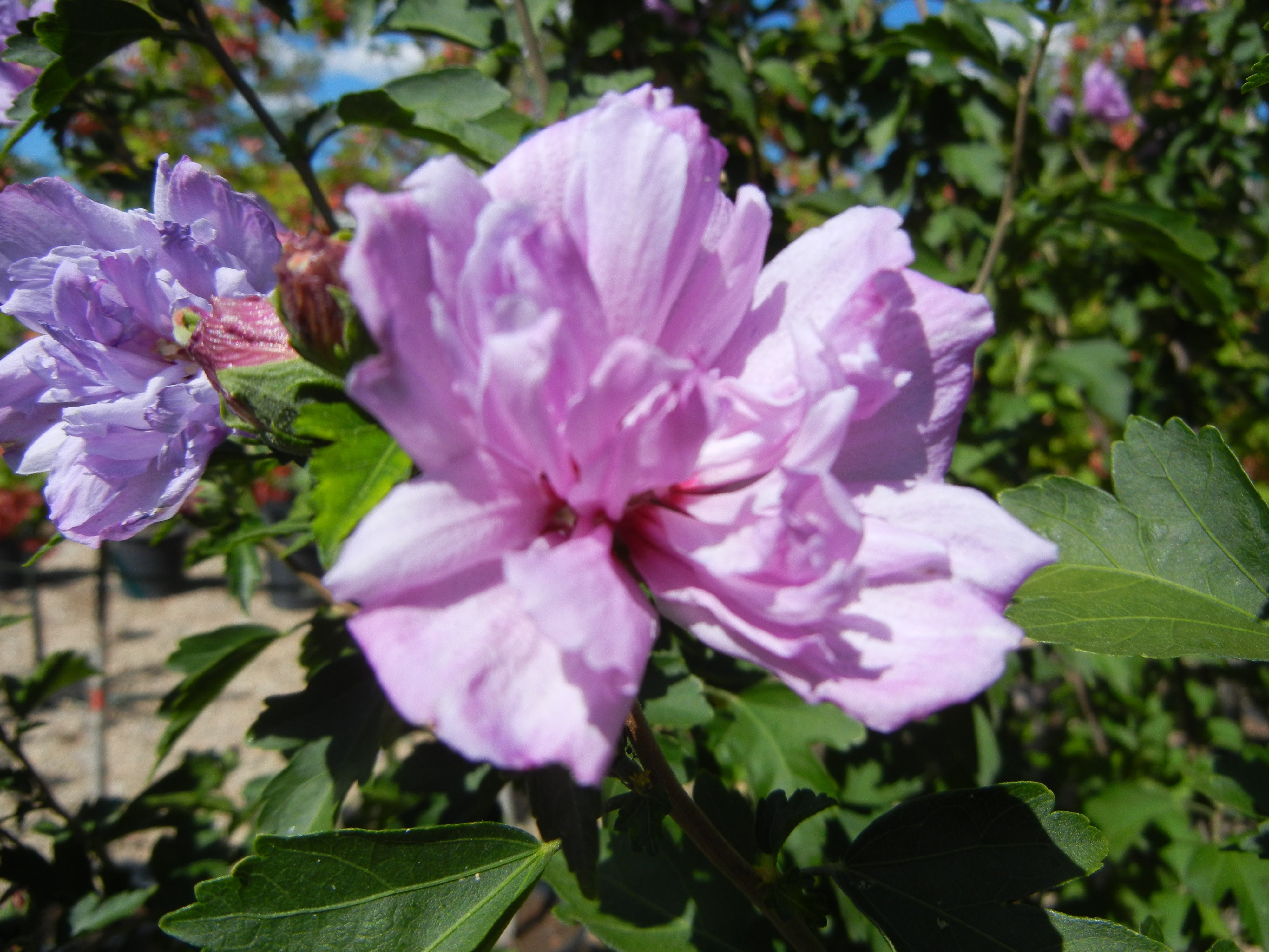 Rose Of Sharon Ardens Althea Thetreefarmcom