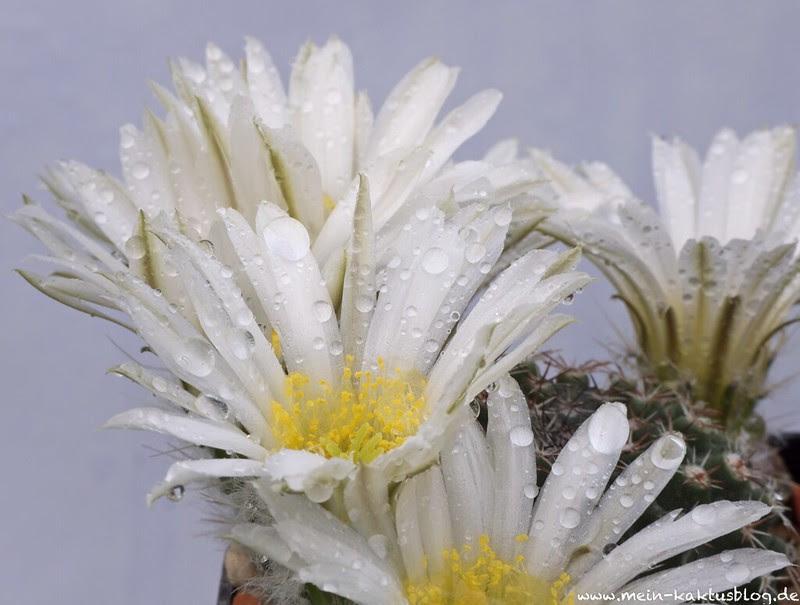Echinocereus sharpii