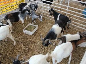 Bovinos, ovinos e caprinos foram expostos na Expoagro (Foto: Tiago Melo/G1 AM)