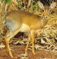 A dik dik. Yes, I know this is a female and therefore doesn't have those sweet little horns, but it's still damn cute!