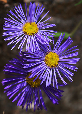 Asters below Cinnamon Pass
