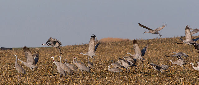Sandhill cranes in a cornfield                                                           in Southern                                                           Barton County,                                                           Kansas