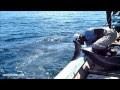Delfines utilizados como carnada para Aleteo de tiburones en Indonesia