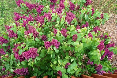 Lilacs...MMMMmmmmmm!