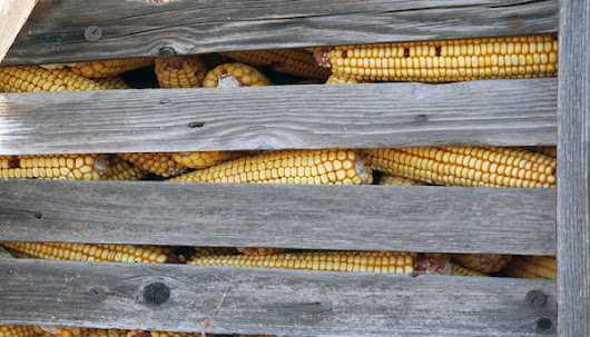 Syngenta's Genetically Modified Corn Crippling American Corn Exports - Eat Drink Better
