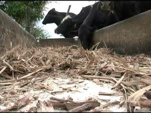 Animais consomem o pouco que ainda resta (Foto: Reprodução/ TV Gazeta)