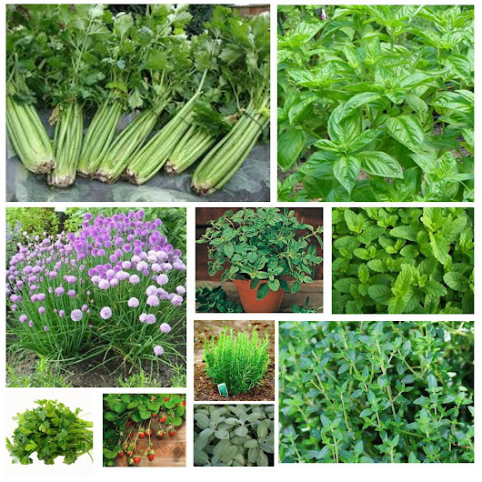 "Ankur Nurseries on Twitter: ""Now use your own homegrown herbs for your salads and pastas !!  Buy herb seeds at …/se…/sub-category/27/herb-seeds """