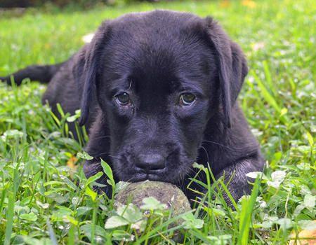 Sugarhoney the Labrador Retriever