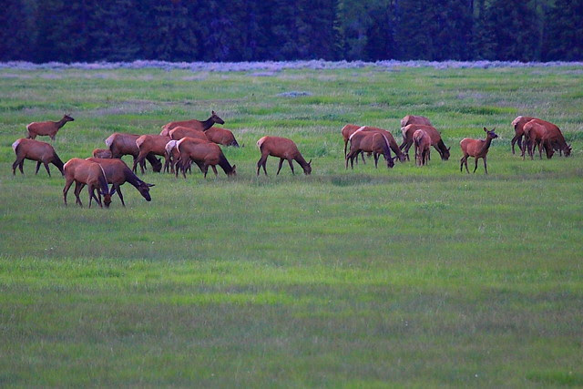 IMG_2005 Elk Herd, Grand Teton National Park