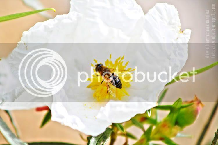 Una abeja trabaja sobre una blanca flor de jara en Manzanares el Real, Madrid