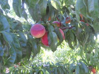 More Peaches on Tree