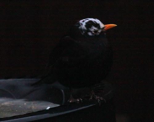 Blackbird with White Head