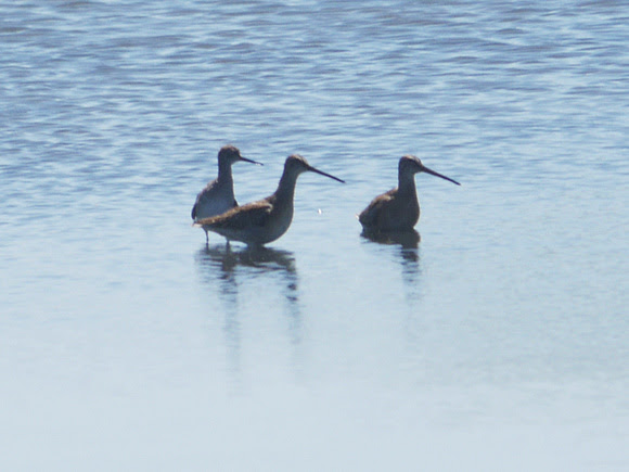 Ed Gaillard: birds &emdash; Three Amigos (Jamaica Bay)